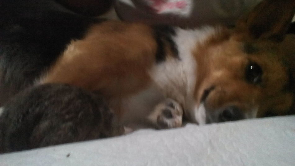Indoors  Lying Down Relaxation Close-up One Animal Animal Themes Mammal Domestic Animals Pets New Born Animal Corgi Puppy Dog Cute Pets Babyhood Dogs Togetherness Bonding Cute Sleepy Lifestyles No People
