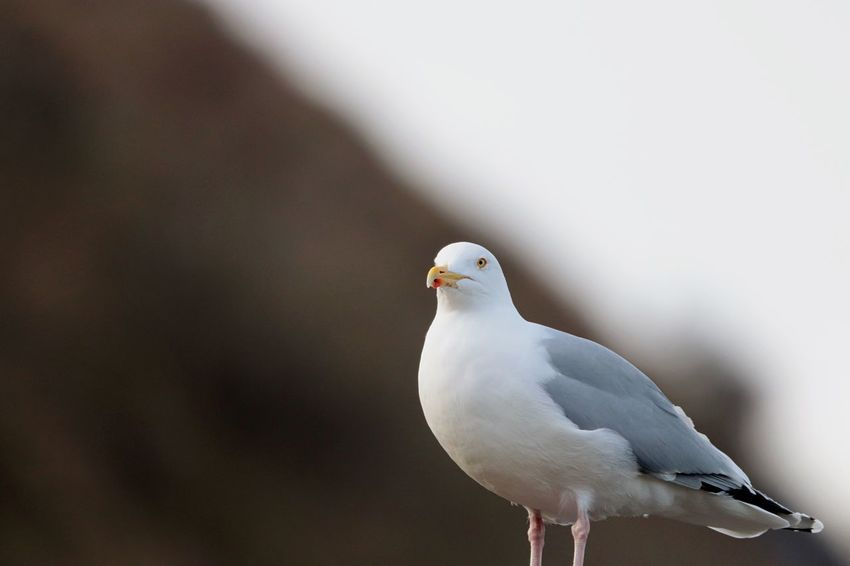 EyeEm Selects Bird Animal Themes Animals In The Wild White Color One Animal Animal Wildlife Perching Seagull No People Day Nature Outdoors Close-up Beauty In Nature