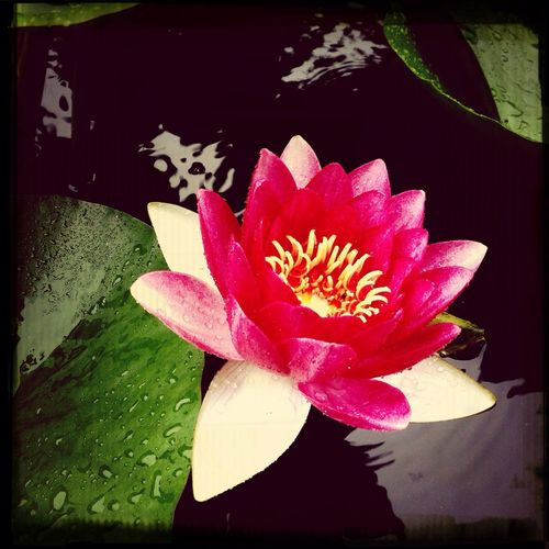 雨の中、蓮が綺麗に咲いていた〜