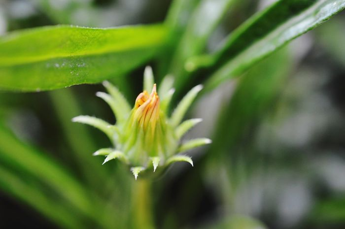 Flower Flower Bud Closeup Macro Macro_flower Yellow Flower Plant Nature From My Garden Selectivefocus