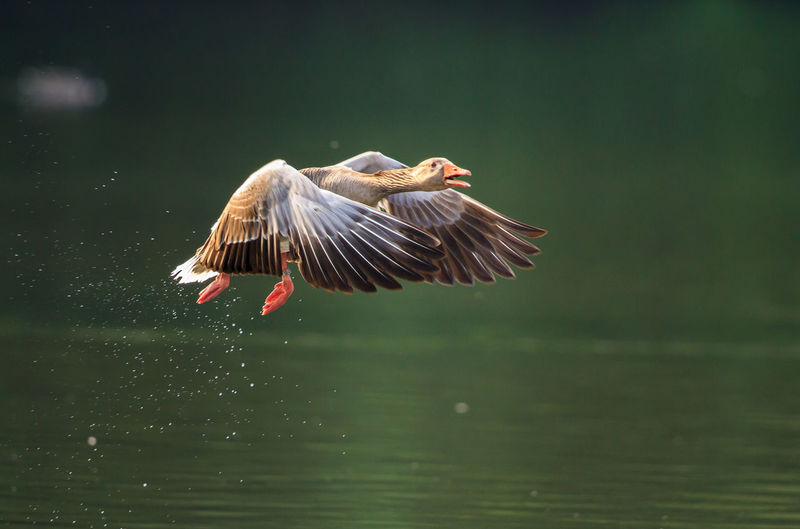 Graylag goose flying over lake on sunny day