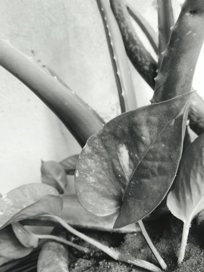 Bnw_echoes_of_the_past Bnw_friday_eyeemchallenge Mony Plant Alovera No People Close-up Leaf Plant Day Growth Beauty In Nature Nature EyeEmNewHere