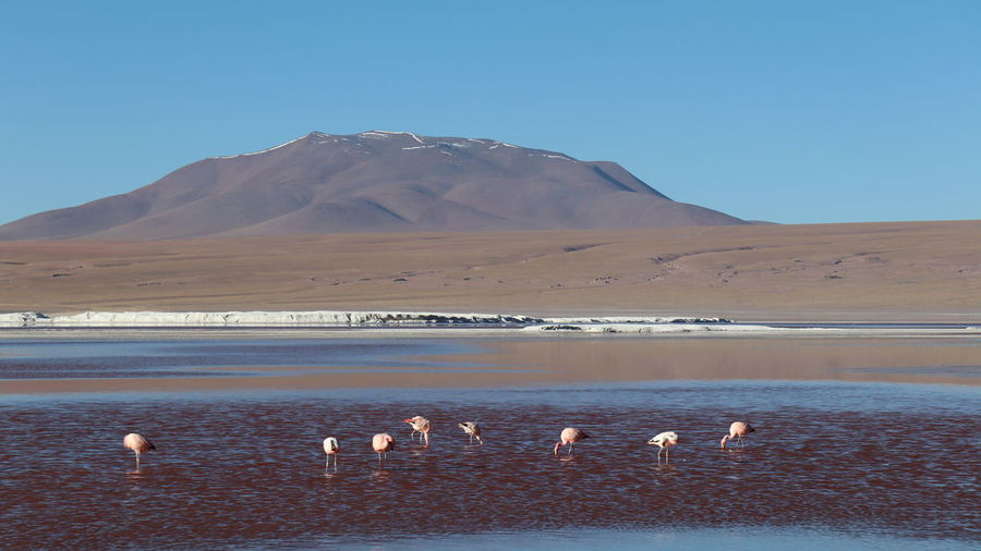 Pink flamingoes feeding in the colorful waters of laguna colorada