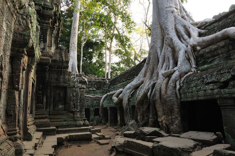 Ancient Ancient Architecture Ancient Civilization Angkor Thom Architecture Built Structure Damaged Day Destruction Deterioration Famous Place History Old Old Ruin Ruined Sculpture Statue Stone Travel Destinations Tree Tree Roots  Tree Trunk