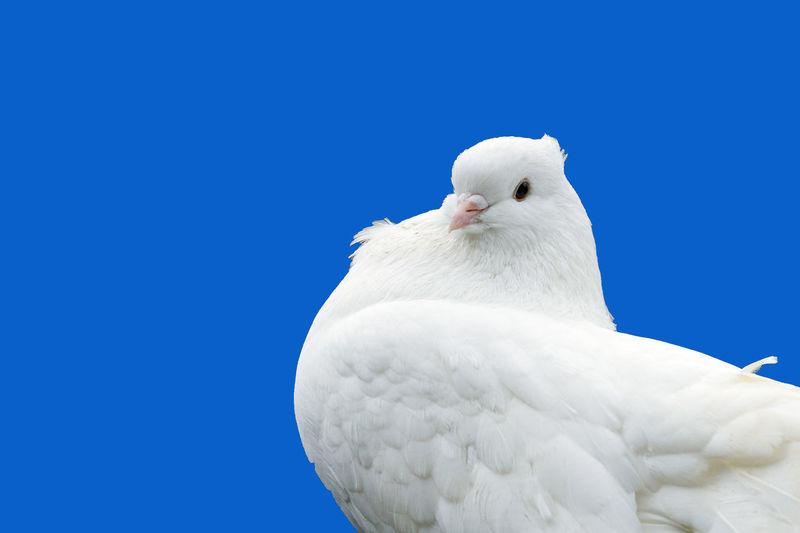 White dove Dove