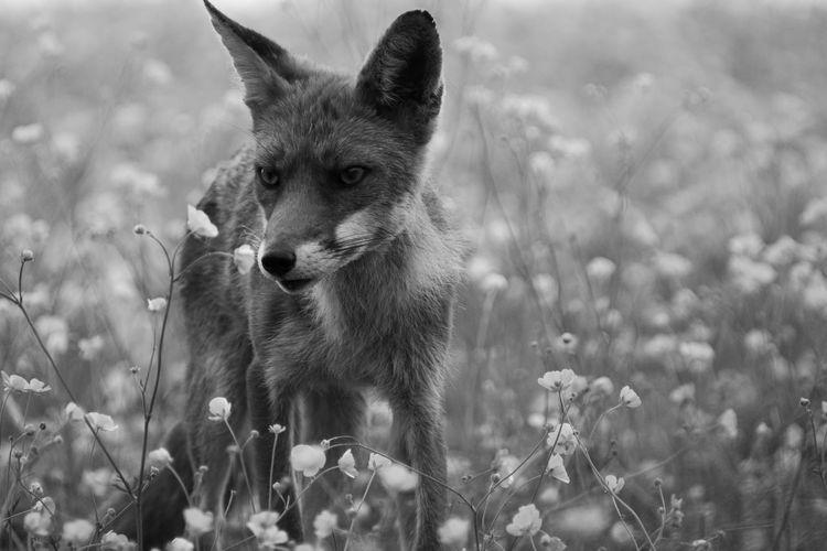 Close-up portrait of a fox