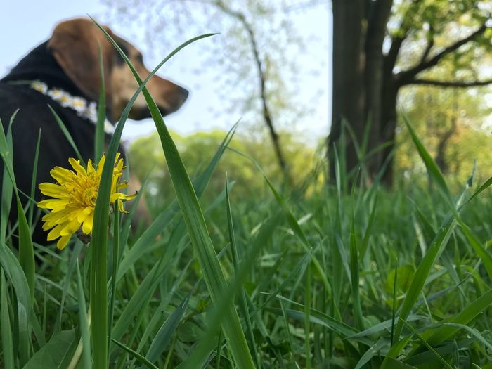 Dog Plant Flower Flowering Plant Growth Beauty In Nature Nature Focus On Foreground Green Color Fragility Vulnerability  Freshness Field Land Close-up Flower Head Day Yellow Petal One Person Inflorescence