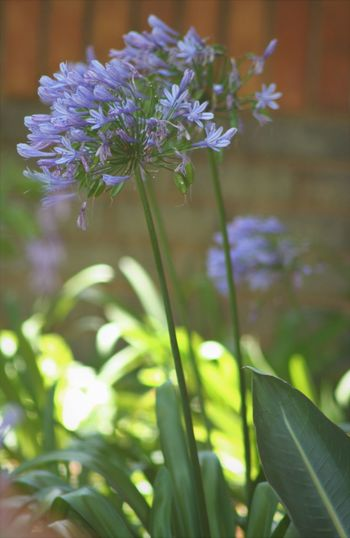 Agapanthus South Africa Beauty In Nature Blooming Botany Close-up Day Flower Flower Head Fragility Freshness Growth Nature No People Outdoors Petal Plant