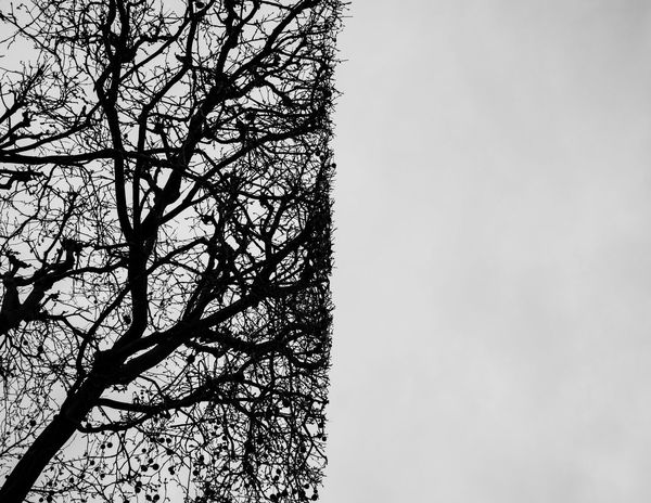 LINE Paris Bare Tree Beauty In Nature Blackandwhite Branch Clear Sky Day Freshness Grey Sky Growth Low Angle View Middle Nature No People Outdoors Scenics Sky Streetphotography Tranquility Tree