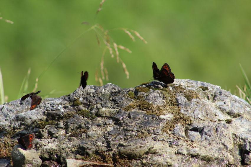 Papillion Nature