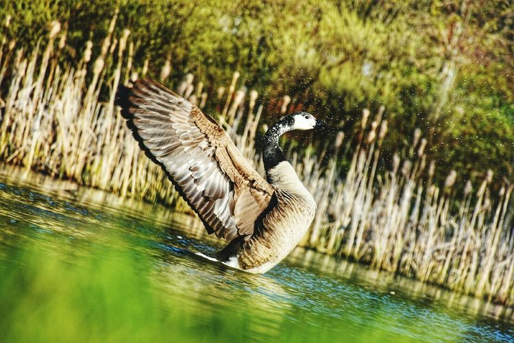 Tilt Image Of Goose Swimming In Lake