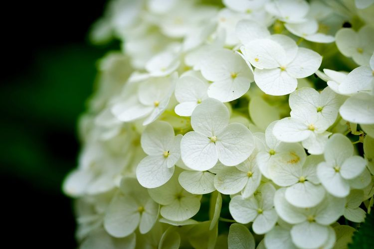 Close-up of white hydrangea flowers blooming at park
