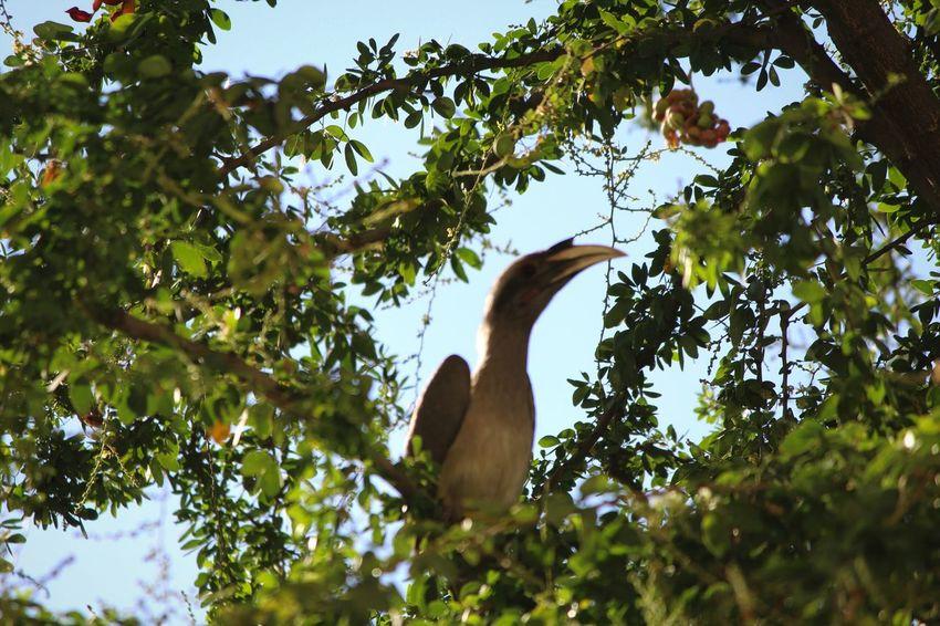 Bird Photography Birds_collection Bird Watching Birds🐦⛅ Birds_n_branches grey hornbill Grey Hornbill
