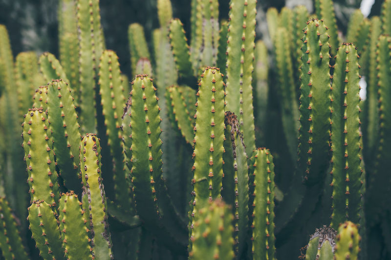 Backgrounds Cactus Close-up Fragility Freshness Full Frame Green Color Growth Nature Plant Saguaro Cactus Spiked Thorn