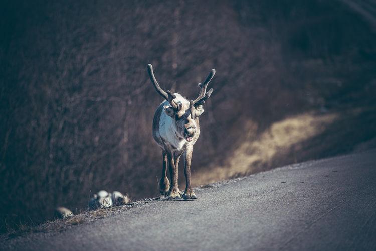 Reindeer walking on road
