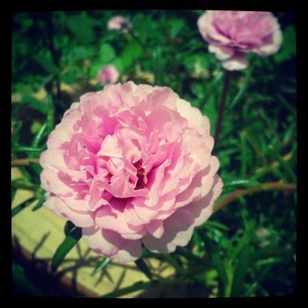 ten o'clock flower_blossom Nature Pink