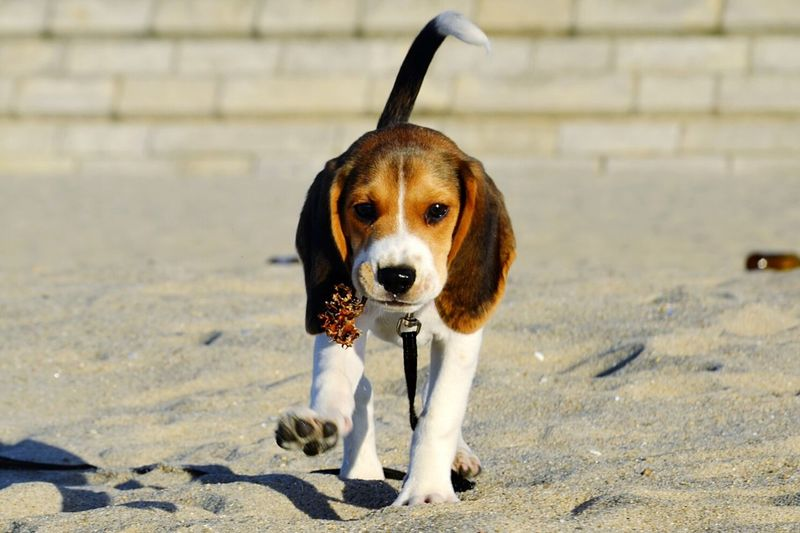 One Animal Dog Pets Domestic Animals Outdoors Portrait Beagle Beaglelove Beaglelife Beach Dogs DogLove Dogoftheday Beachdog Beachphotography Puppy Puppydog Puppy Playtime Puppy Photography Puppylife