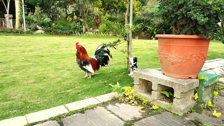雞攻擊之術 Chickenattack
