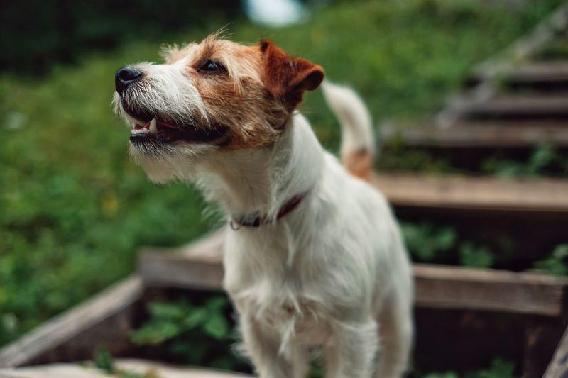 Jack russell terrier looking away on field