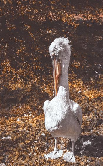 Albino Pelican