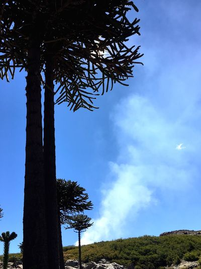 Tree Nature Sky Tranquility Beauty In Nature Growth Tranquil Scene Outdoors No People Scenics Tree Trunk Low Angle View Day Cloud - Sky Landscape Araucaria Patagonia Pehuen Vulcano Smoke