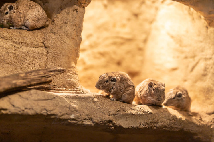 Close-up of rats on rock