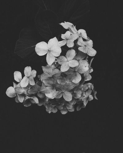 hydrangeas Mobilephotography VSCO Vscocam Vscoasia Vscovietnam Vscovisuals Blackandwhite Monochrome Hydrangea Darkness Flower Vscophoto Studio Shot Flowering Plant Black Background Freshness Plant Inflorescence Close-up Flower Head Indoors  Petal Vulnerability  Fragility Beauty In Nature Nature No People High Angle View Growth Copy Space Plant Part
