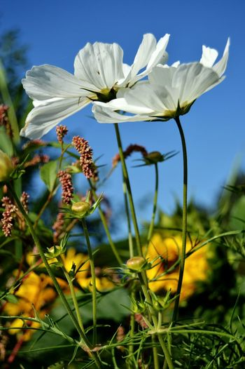 Flowers Flowers, Nature And Beauty Flower Photography Flowers,Plants & Garden Flowerphotography Beauty In Nature Nature Nature Photography White Flower White Flowers Flower Head Flower Blue Closing Rural Scene Sky Close-up Plant Landscape
