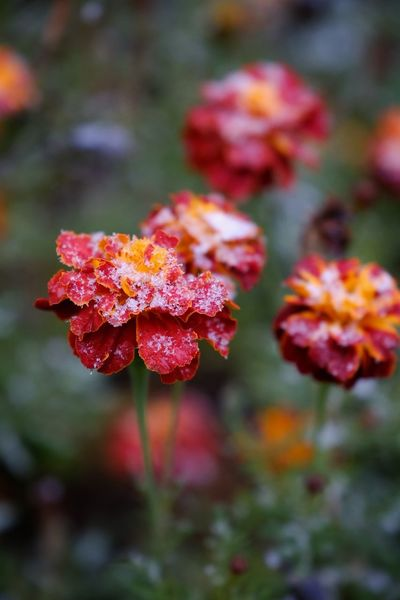 Plant Nature No People Leaf Red Beauty In Nature Autumn Outdoors Day Close-up Flower Fragility Freshness