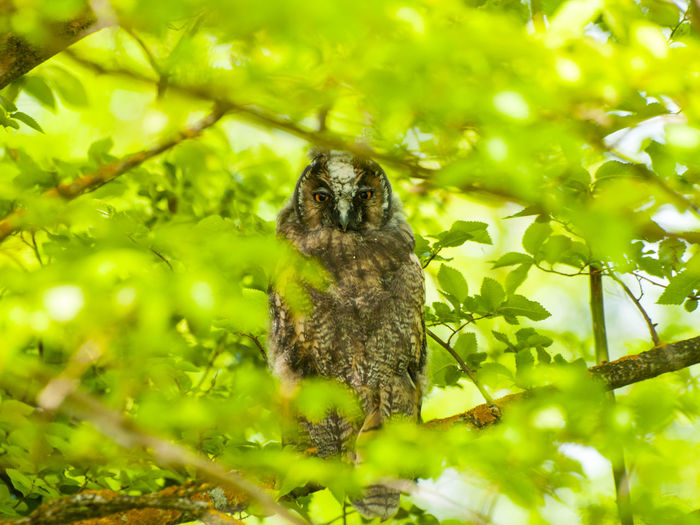 Long-eared Owl Animal Portrait Animal Themes Animals In The Wild Asio Otus Beauty In Nature Bird Camouflage Day Environment Green Color Growth Looking At Camera Mammal Nature No People One Animal Outdoors Owl Owls Perching Perching Bird Tree Wildlife Wildlife & Nature The Great Outdoors - 2017 EyeEm Awards