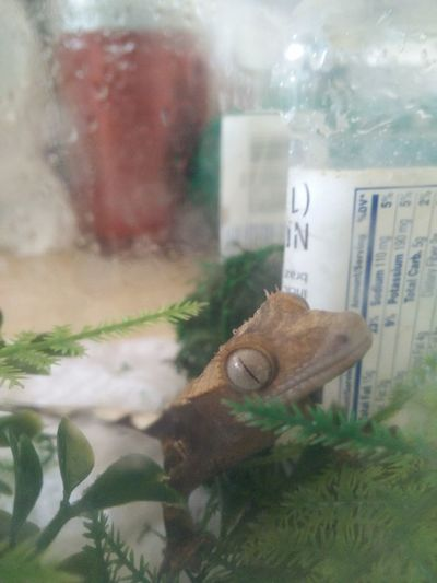 Harley the peaking gecko Green Crestie Crested Gecko Gecko Harley Lizard Forest Greenery Pet Epic Water Reptile Animal Climbing Warerdrops