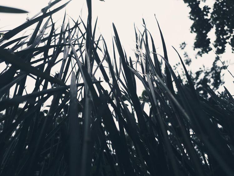 Black grass EyeEm Ready   EyeEm Grass Black Grass Sky Rainyseason Cloudy Day
