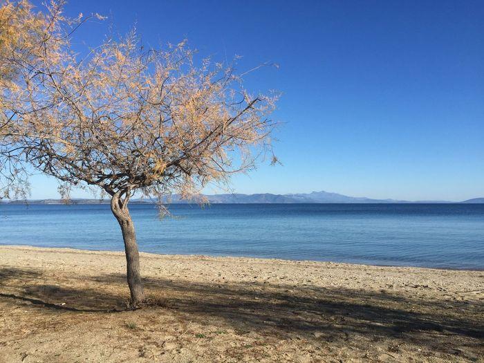 Tree on beach against clear blue sky
