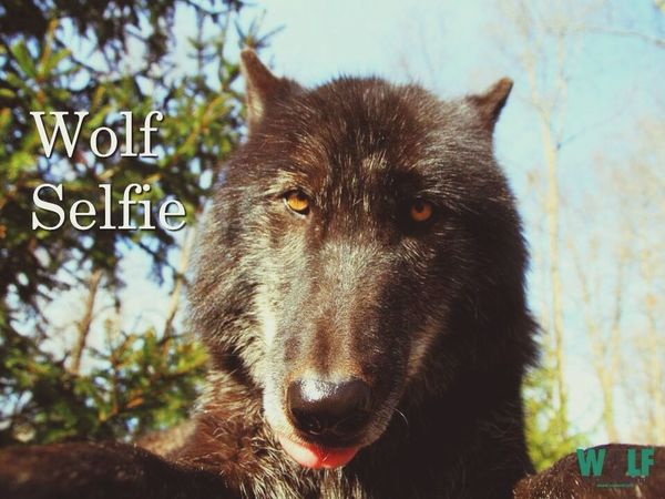 Wolf Selfie :) from Wolf Conservation page(facebook) Wolf EyeEm Best Shots Hello World Taking Photos