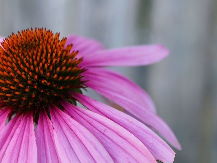 In The Garden Flower Collection Nature_collection Garden Flowers Nature On Your Doorstep Summer Flowers Flower Flowers,Plants & Garden EyeEm Nature Lover Flower Flowering Plant Coneflower Freshness Vulnerability  Petal Fragility Flower Head Plant Close-up Pink Color Beauty In Nature Growth Focus On Foreground Nature No People Outdoors