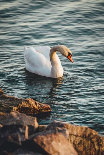 Water Animal Themes Bird Animal Wildlife Animals In The Wild Animal Vertebrate One Animal Nature No People Swan Day Water Bird Waterfront Side View Beauty In Nature Zoology Beak