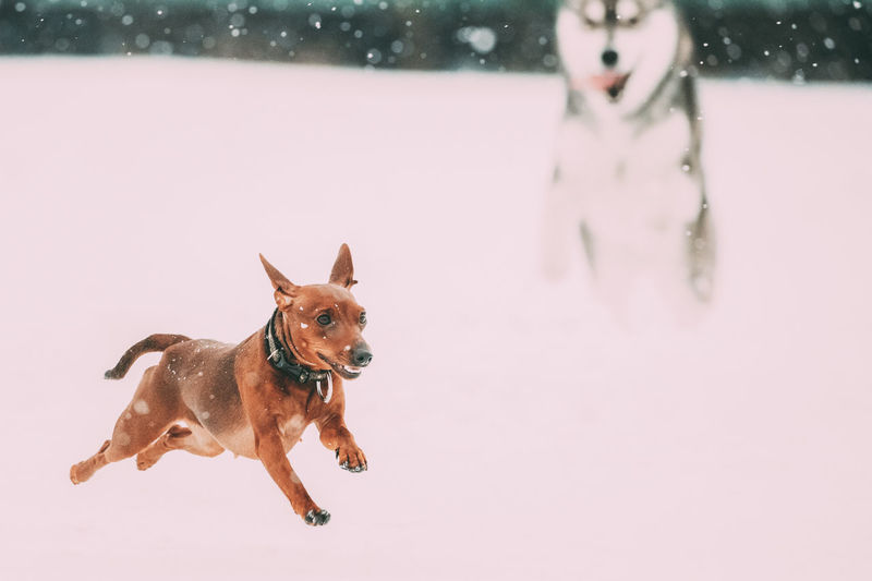 Two Funny Dogs Play Together. Funny Dog Red Brown Miniature Pinscher Pincher Min Pin And Husky Playing Outdoor In Snow, Winter Season. Playful Pet Outdoors. Animal Pet Purebred Funny Breed Snow Winter White Dogs Play Together Brown Miniature Pinscher Pincher Min Pin Husky