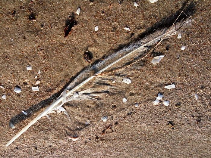 Seagull feather on beach sand Shells Broken Shells Feather  Seagull Feather Beach Sand