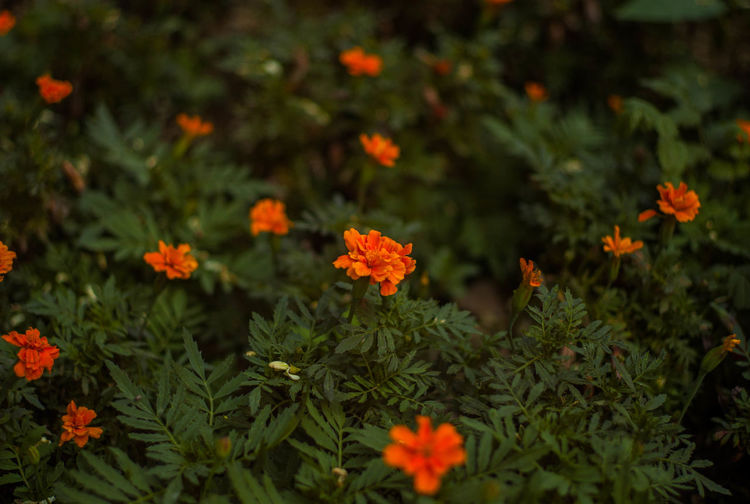 High angle view of marigold flowers growing on plants