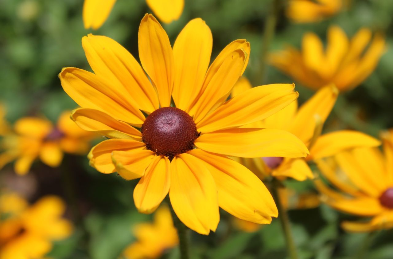 flower, yellow, petal, growth, fragility, flower head, nature, beauty in nature, freshness, plant, focus on foreground, blooming, pollen, day, outdoors, no people, close-up, black-eyed susan