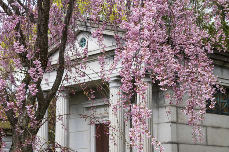 Pink flowering tree by building