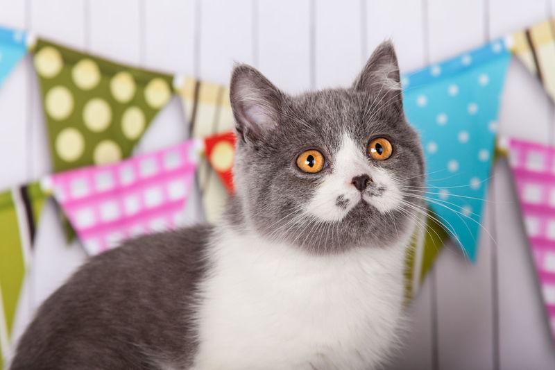 Augen Britisch Kurzhaar Katzen 💜 Kurzhaar Mamal Orange Augen Studio Cat Domestic Animals Domestic Cat Feline Feline Portraits Kater Katze No People Ohren Pet Portrait Rasse