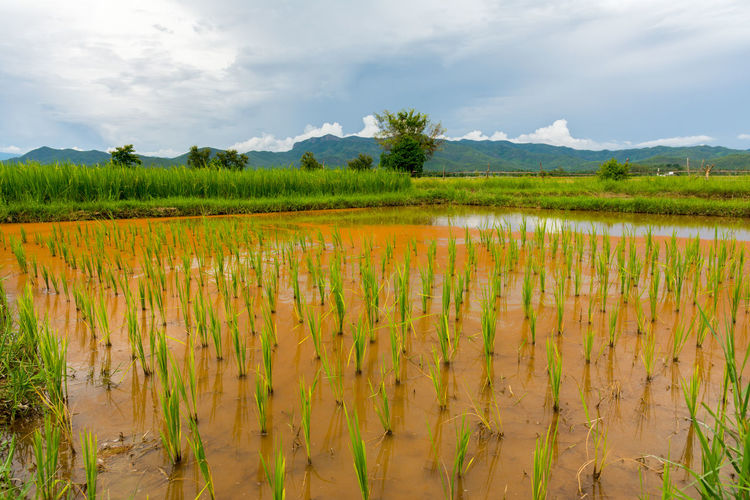 Ricefield near Chiang Mai, Thailand Chiang Mai Thailand Agriculture Beauty In Nature Cereal Plant Cloud - Sky Day Field Growth Labor Landscape Nature No People Outdoors Plant Rice Paddy Ricefield Rural Scene Scenics Sky Tranquil Scene Tranquility Water
