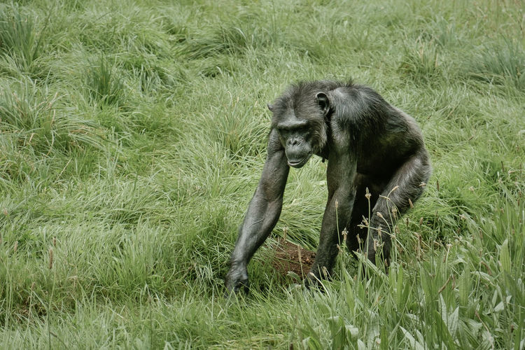 Only managed a few shots Monkeys Animal Themes Animal Wildlife Animals In The Wild Captive Animals Captivity Captivity Of A Wild Best Day Field Grass Green Color Growth Indoors  Mammal Monkey Nature No People One Animal Orangutan Outdoors