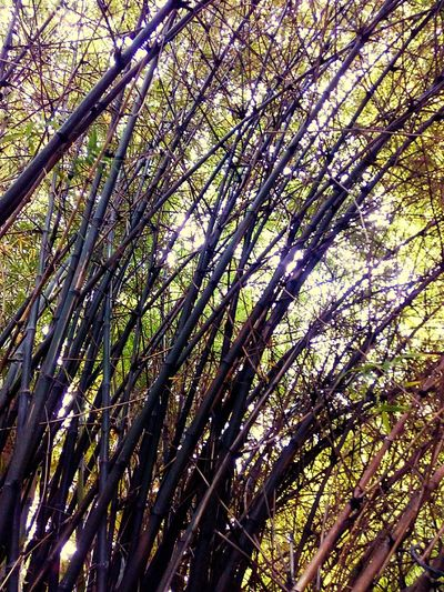 Bamboo Bamboo Tree Nature Nature Photography Tree Photography Tree Nature Collection Beauty Of Nature Beautiful Nature Nature Color Tree Pattern Bamboo Pattern ใน Ratchathewi, Thailand