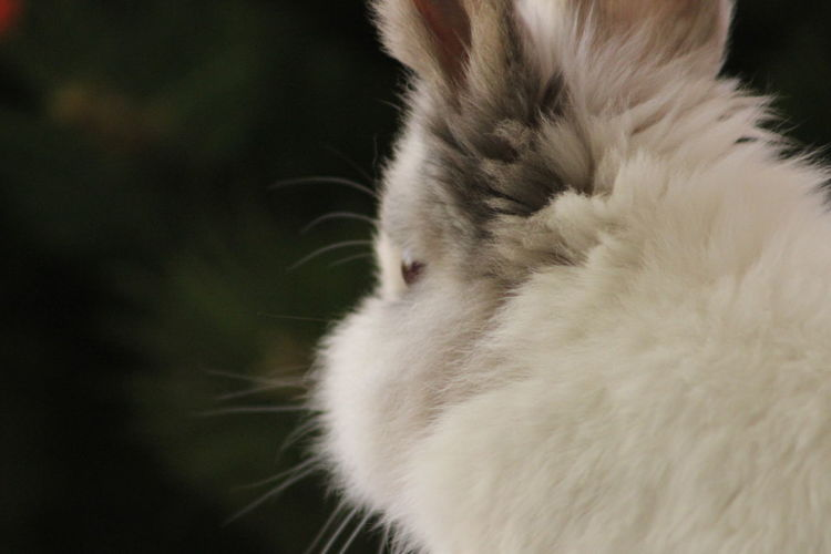 Animal Hair Animal Head  Animal Themes Black Background Bunny  Close-up Domestic Animals Focus On Foreground Mammal Nature No People One Animal Pets Rabbit Showcase April Softness White White Color