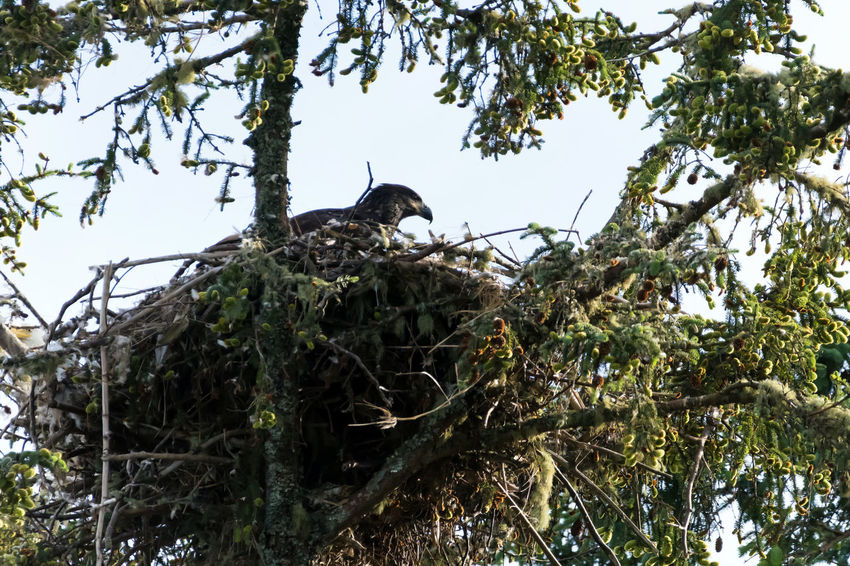 Baby Bald Eagle in Nest and Photo of near by Parents also. Animals In The Wild Bald Eagle Bird Photography Birds Of EyeEm  Birdwatching Wildlife & Nature Wildlife Photography Wildlife Photos Animal Themes Baby Eagle Bird Family Bird Of Prey Bird Watching Birds_collection Branch Day Eagle - Bird Eagle Nest Eaglet Low Angle View Nature Nest No People Plant Tree