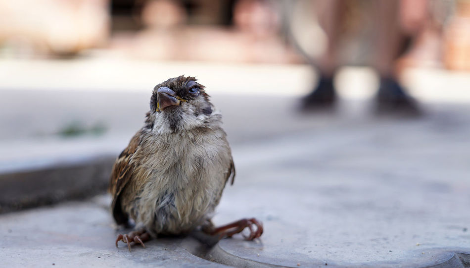 Young Sparrow Young Bird Broken Bird Sick Sparrow Sick Bird Injured Bird Injured Sparrow Sparrow Bird Sparrow Bird Flu Day Animals In The Wild Close-up Animal Themes Animal Wildlife Bird One Animal No People Full Length