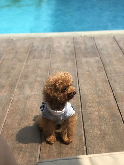 High angle view of dog sitting by swimming pool