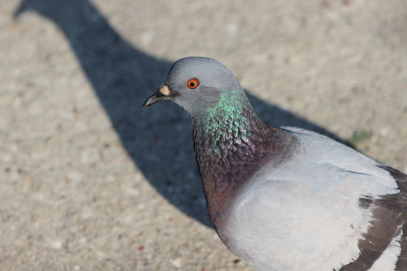 Animal Animal Themes Animal Wildlife Animals In The Wild Beauty In Nature Bird Close-up Day Feather  High Angle View Living Organism Nature No People Outdoors Pigeon Sunlight Colorful Rainbow Reflection